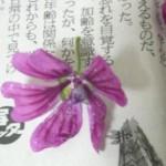 【雑草でハーブティー】ブルーマロウティーの作り方!自由研究にも